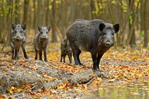 Afrykański pomór świń. Polska wieprzowina jest bezpieczna [© kyslynskyy - Fotolia.com]