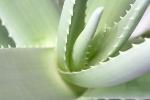 Aloesowa terapia w trakcie snu [© Michael Kempf - Fotolia.com]