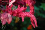 Amarantus - na nadciśnienie i chorobę wieńcową [© Nikola Hahn - Fotolia.com]