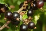 Aronia i czarna porzeczka: naturalne zdrowie [© MONIQUE POUZET - Fotolia.com]