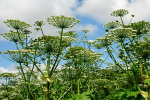 Barszcz Sosnowskiego śmiertelnym zagrożeniem - uważaj na tę roślinę [© bokstaz - Fotolia.com]