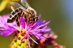Coraz mniej pszczół, będzie mniej warzyw i owoców [© Elenathewise - Fotolia.com]