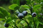 Czarne jagody - naturalny antybiotyk [© Heico Neumeyer - Fotolia.com]