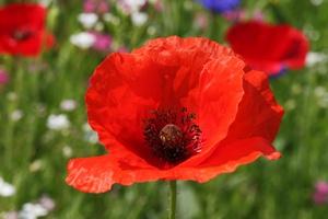 """""""Czerwone maki na Monte Cassino"""" odzyskane [© romantiche - Fotolia.com]"""