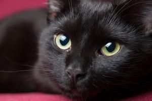 Czy czarny kot przynosi pecha? 17 sierpnia święto tych zwierzaków [© ramonespelt - Fotolia.com]