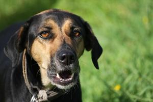 Dlaczego psy atakują. Jak się przed tym uchronić? [©  babablusk - Fotolia.com]