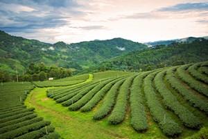 Elementarz herbaciany - Assam i Cejlon [© aaa187 - Fotolia.com]