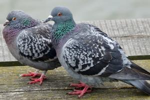Gołębie jak kleszcze. Dlaczego nie wolno dokarmiać ich latem? [Fot. Omm-on-tour - Fotolia.com]