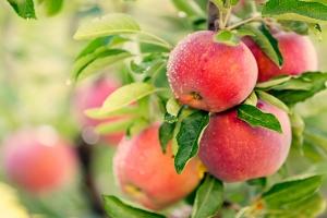 Jabłka pomocne przy chemioterapii. Ograniczą wypadanie włosów [Fot. Mariusz Blach - Fotolia.com]