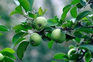 Jabłka uchronią przed przedwczesną śmiercią [© Olga Kovalenko - Fotolia.com]
