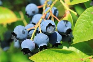 Jagody i borówki amerykańskie mogą pomóc w leczeniu choroby Alzheimera [© Profotokris - Fotolia.com]