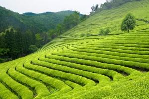 Jakie odmiany herbaty uprawia się w Indiach? [Fot. david_franklin - Fotolia.com]