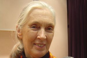 Jane Goodall, słynna badaczka szympansów, kończy 80 lat [Jane Goodall, fot. Jeekc, CC BY-SA 3.0, Wikimedia Commons]