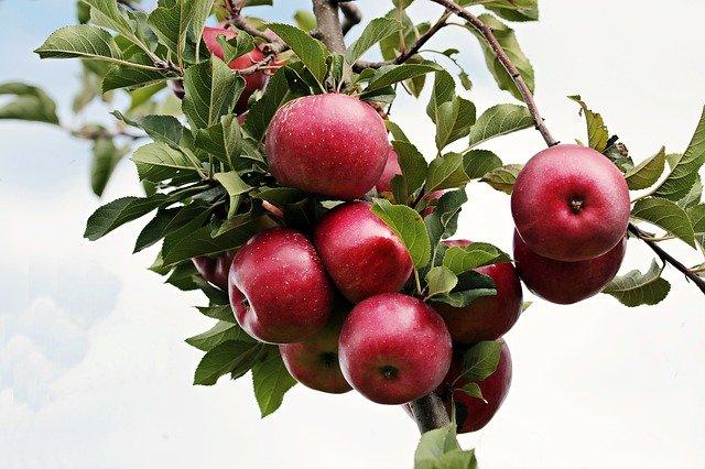 Jedz jabłka, możesz uniknąć wizyty u kardiologa [fot.  S. Hermann & F. Richter z Pixabay]
