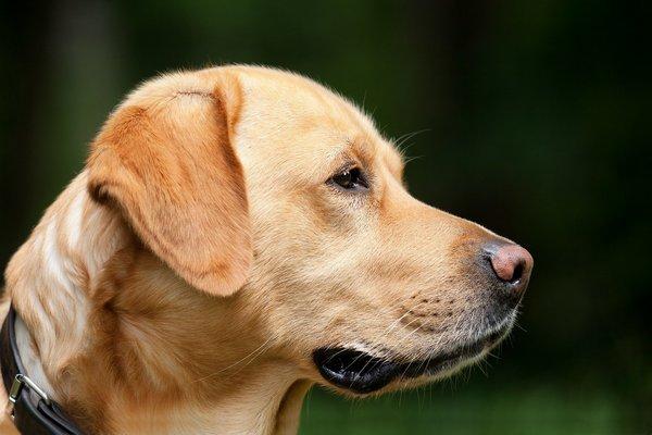Koronawirus: psy są trenowane, by wyczuć COVID-19 [fot.  Pixabay]