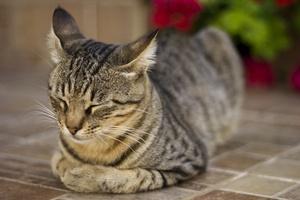 Koty rozpoznają głosy właścicieli, ale wybierają brak reakcji - po prostu nas ignorują [© jokihaka - Fotolia.com]