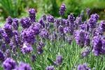 Lawenda nowym lekiem na grzybicę [© Horticulture - Fotolia.com]