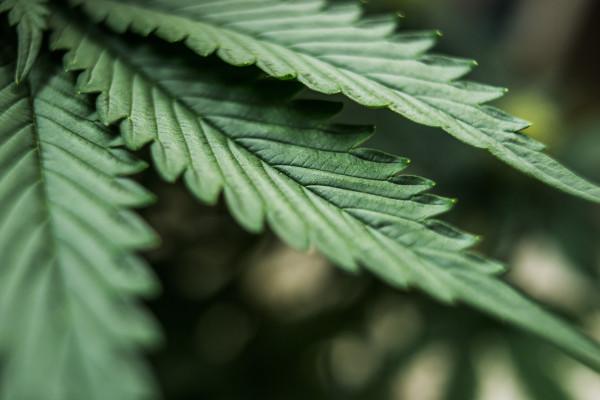 Medyczna marihuana - amerykańscy seniorzy leczą nią ból [Fot. Iarygin Andrii - Fotolia.com]