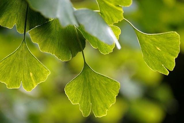 Miłorząb japoński (Ginkgo Biloba) pomaga przy cukrzycy [fot. Marzena P. from Pixabay]
