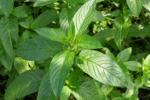 Mięta pieprzowa - naturalny lek na kłopoty żołądkowe [© c - Fotolia.com]