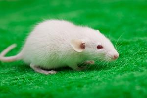Myszy mog� rozpozna� chorob� Alzheimera [© Tsyb Oleh - Fotolia.com]