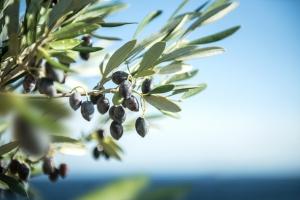 Natura w słuÅźbie zdrowiu: liście oliwki europejskiej na nadciśnienie i cukrzycę [Fot. complize | m.martins - Fotolia.com]
