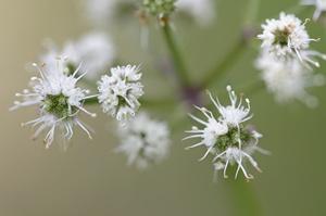 Natura w służbie zdrowiu - żankiel zwyczajny na zapalenie oskrzeli, astmę i problemy skórne [© PIXATERRA - Fotolia.com]