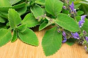 Natura w służbie zdrowiu: boldoa aromatyczna na problemy z wątrobą [Fot. Jobz fotografia - Fotolia.com]