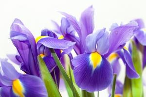 Natura w służbie zdrowiu: kosaciec różnobarwny na egzemę i łuszczycę [Fot. Morgenstjerne - Fotolia.com]