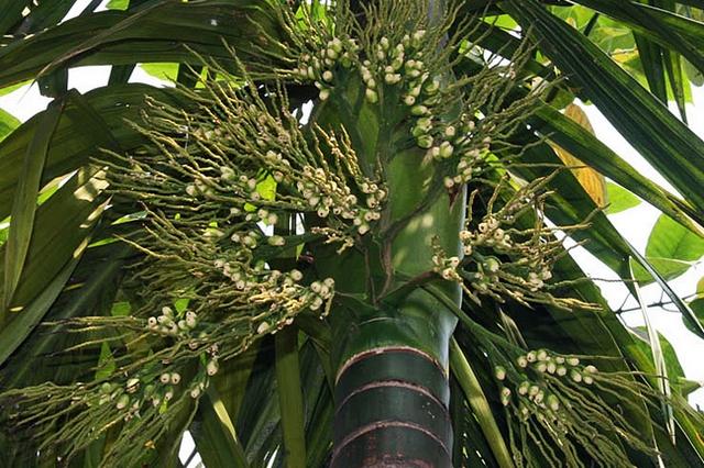 Natura w służbie zdrowiu: palma betelowa - na poprawę nastroju [fot. fot.J.M.Garg, CC BY-SA 3.0, Wikimedia Commons]