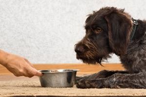 Nie dawaj tego jedzenia psu! 10 produktów, od których może się rozchorować  [Fot. rodimovpavel - Fotolia.com]