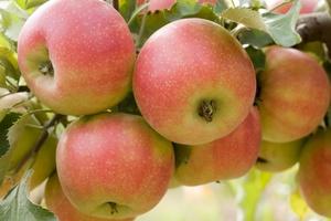 Niezwykłe zastosowania jabłek [© alexfiodorov - Fotolia.com]