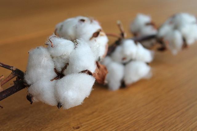 Olej z nasion bawełny znacznie obniża cholesterol [fot. tove erbs from Pixabay]