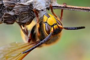 Osy, pszczo�y: uwaga na wstrz�s anafilaktyczny [© AlekseyKarpenko - Fotolia.com]