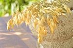 Owies: zdrowe zboże [© tinlinx - Fotolia.com]