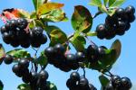 Owoce aronii w profilaktyce chor�b serca [© teressa - Fotolia.com]