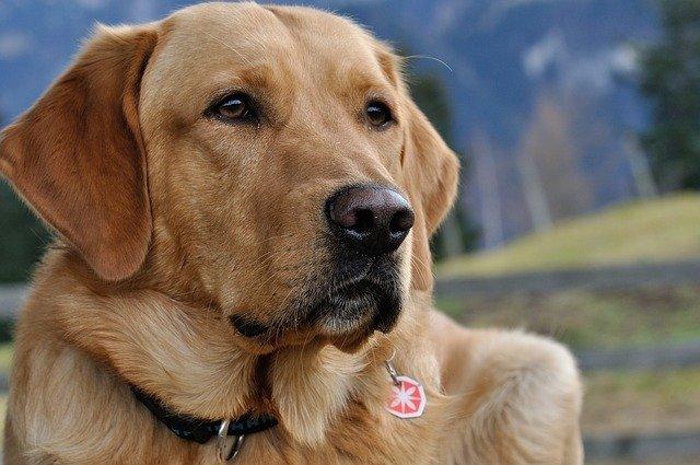 Psy potrafią wyczuć koronawirusa [fot. Pezibear from Pixabay]