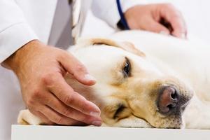 Psy te� choruj� na gryp� [© Sergey Nivens - Fotolia.com]