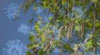 Pyłki zwiększają ryzyko zakażenia COVID-19