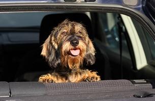 Seniorzy bardziej narażeni na wypadek podczas jazdy ze zwierzakiem [© Gianni - Fotolia.com]