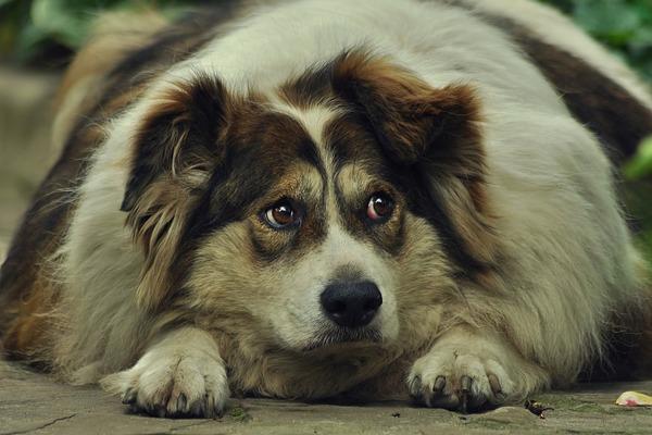Twój pies ma nadwagę? Ty zapewne też... [fot. Pixabay]
