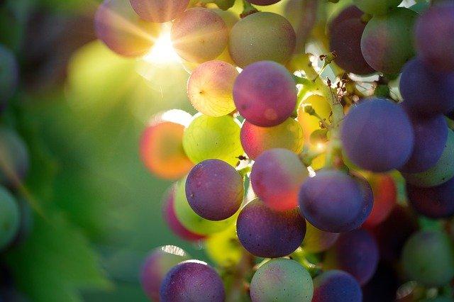 Winogrona chronią przed oparzeniami słonecznymi [fot. Bruno /Germany from Pixabay]