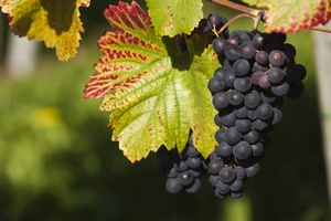 Winogrona chronią nadciśnieniowców przed niewydolnością serca [© Martin Schlecht - Fotolia.com]