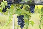 Winogrona związane ze zdrowszymi wzorcami żywieniowymi [© ueuaphoto - Fotolia.com]