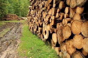 Wyrok Trybunału Sprawiedliwości: wycinka w Puszczy Białowieskiej łamie prawo  [© andrzej_67 - Fotolia.com]