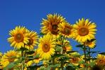 Zdrowe ziarna s�onecznika [© Alexander Horejs - Fotolia.com]