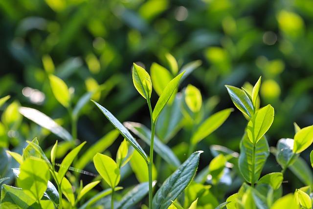 Zielona herbata odmładza skórę [fot. Son Hoa Nguyen from Pixabay]