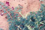 Zioła w służbie zdrowiu: Diabelski pazur - naturalny lek na bóle reumatyczne i zwyrodnienie stawów [Harpagophytum procumbens fot. Henri pidoux, fr.wikipedia]