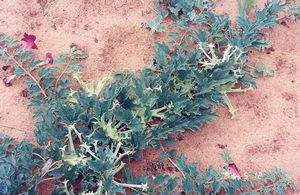 Harpagophytum procumbens fot. Henri pidoux, fr.wikipedia