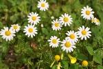 Zioła w służbie zdrowiu: Rumianek - skuteczny lek na wiele dolegliwości [© celeste clochard - Fotolia.com]